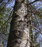 Abies balsamea - Balsam fir