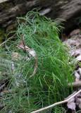 Equisetum scirpoides - Dwarf Scouring Rush