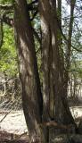 Eastern White Cedar - Thuja occidentalis