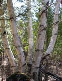 Betula populifolia - Grey Birch