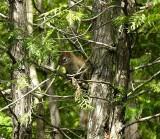 Tamiasciurus hudsonicus - Red Squirrel