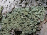 Flavoparmelia caperata (?) - Common Greenshield Lichen