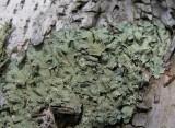 Flavoparmelia caperata (?) - Common Greenshield Lichen