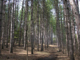 Pinus resinosa - Red Pine plantation