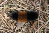 Pyrrharctia isabella - Woolly Bear caterpillar
