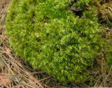 Leucobryum glaucum - Pin Cushion Moss growing on red pine stump