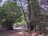 Thuja occidentalis - Eastern White Cedar
