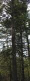 Picea glauca - White spruce