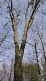 Carya cordiformis - Bitternut Hickory