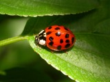 Harmonia axyridis - Asian Lady Beetle