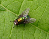 Greenbottle Blow Fly (Lucilia sp?)