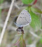 Glaucopsyche lygdamus couperi - Silvery Blue (butterfly)