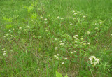 Cornus sericea - Red-osier Dogwood