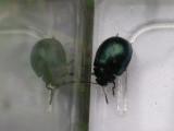 green-beetle.jpg