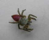 Habronattus decorus - jumping spider - view 1