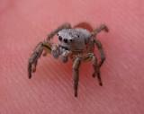 Habronattus decorus - jumping spider - view 3
