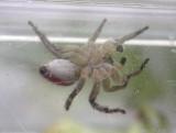 Habronattus decorus - jumping spider - view 4  - underside