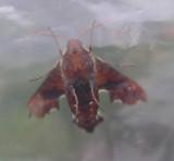 Amphion floridensis - Nessus Sphinx moth (Hodges 7873) - underside