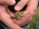 Rana sylvatica - Wood Frog - view 2