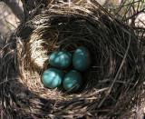 Robin nest in Scots Pine tree