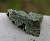 Leuconycta diphteroides moth
