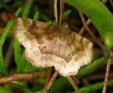 Metarranthis indeclinata - 6825 -- Pale Metarranthis Moth