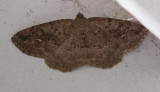 Homochlodes disconventa (?) - 6813 -- Dark Homochlodes Moth (?)