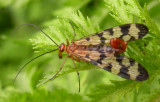 Panorpa galerita (?) - Scorpionfly - Male - view 2