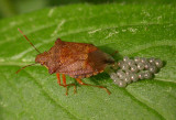 Spiny Stink Bug laying eggs - view 1