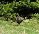 Meleagris gallopavo - Turkey - view 1