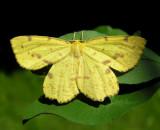 Xanthotype urticaria - #6740 - False Crocus Moth