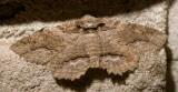 Phaeoura quernaria - 6763 - Oak Beauty