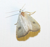 Rivula propinqualis - 8404 --Spotted Grass Moth