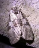 silver-moth-17-06-2007.jpg