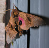Paonias excaecatus - 7824 - Blinded Sphinx Moth - view 2