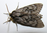 Lapara bombycoides - 7817 - Northern Pine Sphinx moth