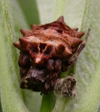 Acanthepeira stellata - Star-bellied Orbweaver - female - view 1