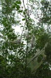 buckthorn cats - view 3