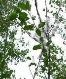 Buckthorn leaves - upper
