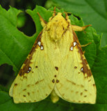Sthenopis thule - 0021 - Willow Ghost Moth