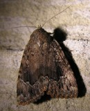 Amphipyra pyramidoides - 9638 - Copper Underwing Moth