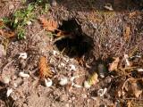 disturbed turtle nest - 2