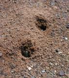 Tiger Beetles making burrows on a sandy beach