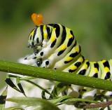 Papilio polyxenes - Black Swallowtail exposing osmeterium