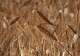 Cattails Abstract