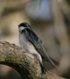 Tree-Swallow.jpg