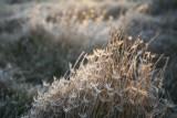 Glistening-Grasses