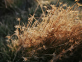 Glistening-Grasses-3