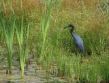 Little-Blue-Heron-Hunting