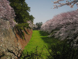 Cherry Blossoms over Moat   & Ramparts